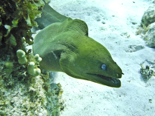 Grand Cayman Green Moray Eel