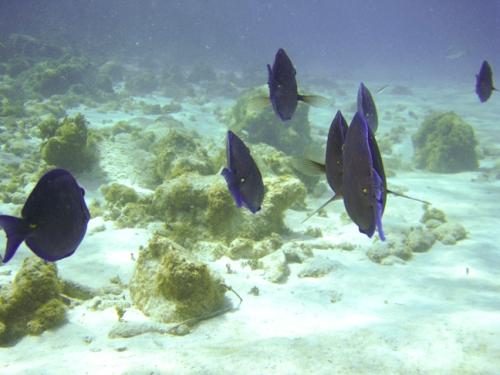 Grand Cayman Blue Tang