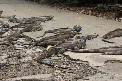 Iguana Farm, Roatan, Honduras