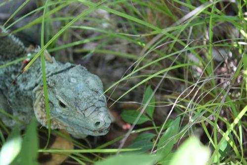 Cayman Botanical Park Blue Iguana