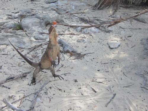 Allen's Cay Iguana Bahamas