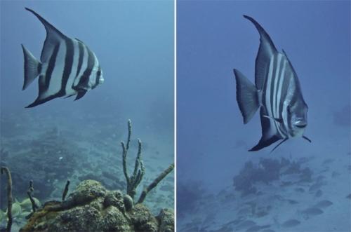 batfish spadefish