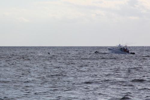 Dolphins, Bahamas