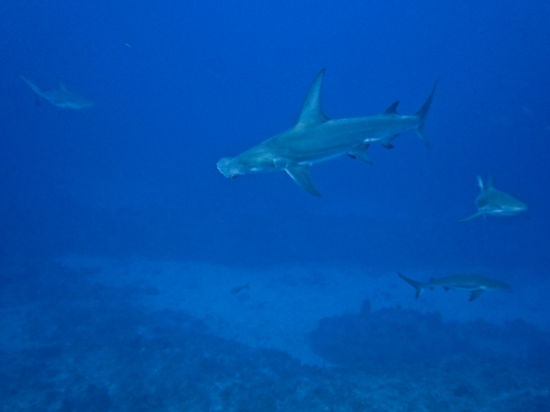Shark Diving Bahamas Blackbeards